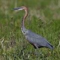 Goliath Heron, Ardea goliath at Marievale Nature Reserve, Gauteng, South Africa (44774367184).jpg
