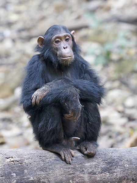 Fil:Gombe Stream NP einsamer Schimpanse.jpg