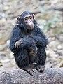 Gombe Stream NP einsamer Schimpanse.jpg