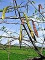 Gousses de Gliricidia sepium.jpg