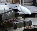 Grand Canal Bird (7248023350).jpg