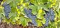 GrapeVine RPcloseUP280.jpg