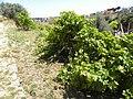 Grape vines in Galilee - B (5802808263).jpg
