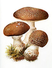 Illustrazione di A. pantherina