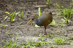 Gray-necked Wood-Rail - Manu NP 8700 (14936192754).jpg
