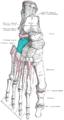 Gray268 - Cuboid bone.png