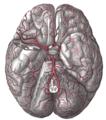 Артерии основания мозга.
