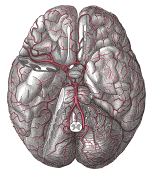 Posterior communicating artery - The brain and the arteries of the base of the brain, viewed from below, with the front of the brain at the top of the image. The temporal pole of the cerebrum and a portion of the cerebellar hemisphere have been removed on the right side.