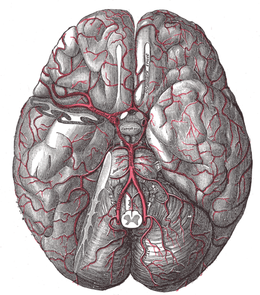 Neurosciences/La vascularisation du système nerveux central — Wikilivres