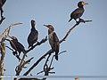 Great Cormorant (Phalacrocorax carbo) (15894438275).jpg