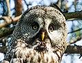 Great Grey Owl (Strix nebulosa) (14180469109).jpg