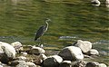 Great blue heron (Kernville, CA).jpg