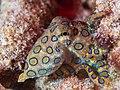 Greater blue-ringed octopus (Hapalochlaena lunulata) (48272090161).jpg