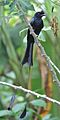 Greater racket-tailed drongo @ Kanjirappally 02.jpg