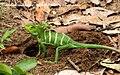 Green Calotes chinnar alampetti 2009 05 20 9 13 (3602892353).jpg