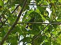 Green Iora (Aegithina viridissima) (8071319059).jpg
