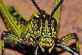 Green Milkweed Locust (Phymateus viridipes) nymph (6888498178).jpg