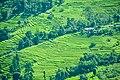 Greenese tea garden.jpg