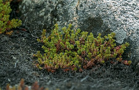 Greenland, crowberry (js)1.jpg