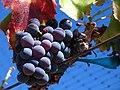 Grenache noir grapes.jpg