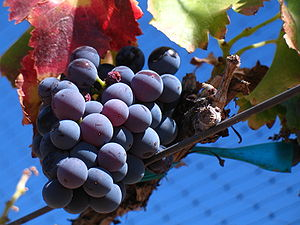 Picture of Grenache noir grapes from a vineyar...