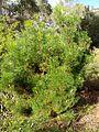 Grevillea involucrata (ANBG).jpg