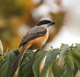 Grey-backed Shrike মেটেপিঠ লাটোরা, (Lanius tephronotus).jpg