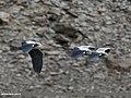 Grey Heron (Ardea cinerea) (34058144296).jpg