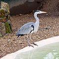 Grey Heron (Ardea cinerea) (5622527630).jpg