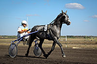 Grey Orlov Trotter.jpg