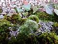 Grimmia pulvinata 107441867.jpg