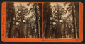 Grizzly Giant, 33 feet diameter, Mariposa Grove, Mariposa County, Cal, by Watkins, Carleton E., 1829-1916.png