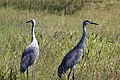 Grus canadensis (Sandhill Crane) 05.jpg