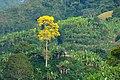 Guaayacán amarillo (Tabebuya chrysantha) - Flickr - Alejandro Bayer (1).jpg