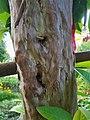 Guava Tree 161116.jpg