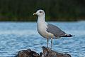 Gull 01 (MK).jpg