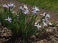 H20130415-7709—Iris munzii—RPBG (16288197484).jpg