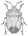 HEMI Pentatomidae Dictyotus caenosus.png