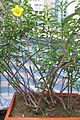 HK 上環 Sheung Wan 水坑口街 Possession Street Footbridge green plants n flowers yellow 夾竹桃葉黃蟬 Allamanda schottii Sept 2017 IX1 03.jpg