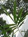 HK 灣仔 Wan Chai 修頓球場 Southorn Playground plant October 2017 IX1 green palm compound leaves 竹子 Bambusa 03.jpg