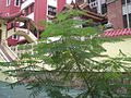 HK Happy Valley Po Kuk School Tree 3.JPG