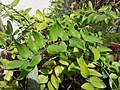 HK Mid-levels High Street clubhouse green leaves plant February 2019 SSG 22.jpg