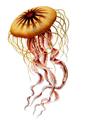 Haeckel Chrysaora hysoscella.png