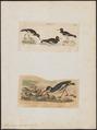 Haematopus ostralegus - 1700-1880 - Print - Iconographia Zoologica - Special Collections University of Amsterdam - UBA01 IZ17300003.tif