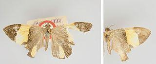 <i>Hagnagora ephestris</i> species of insect
