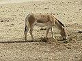 Hai Bar Yotvata Nature Reserve 49.jpg