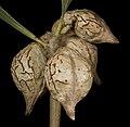 Hakea undulata - Flickr - Kevin Thiele (1).jpg