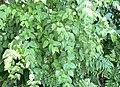 Halleria lucida - foliage 3.JPG