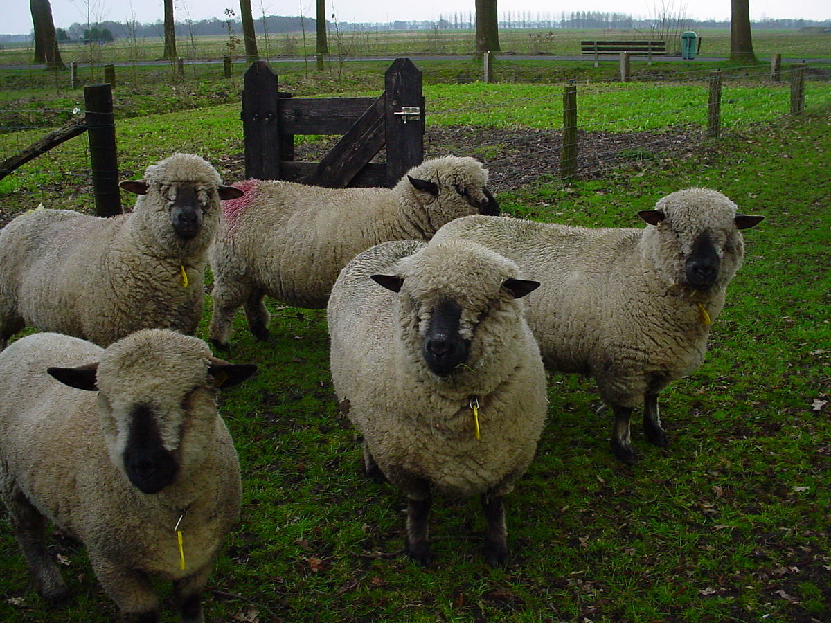 Hampshire sheep - Wikipedia