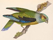 A green parrot a light-blue head, green cheeks, black shoulders and eye-spots, and blue-edged wings
